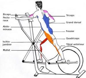 velo-elliptique-muscle